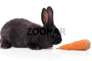 Black rabbit with carrot on a white background.