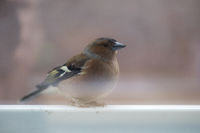 A chaffinch in side view sitting on a railing.