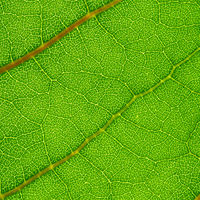 summer green leaf macro close up