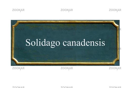 shield solidago canadensis