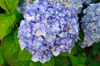 Blue Hydrangea blooming in the nature.
