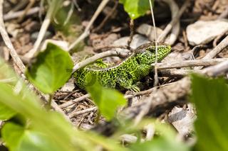 Männliche Zauneidechse / Lacerta agilis im Unterholz