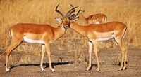 Male Impalas in Sambia, Aepyceros melampus