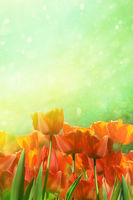 Spring tulips in field with abstract background