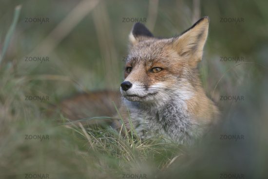 at day rest... Red fox *Vulpes vulpes*
