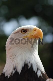 Portrait eines Weisskopfseeadlers