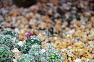 Cereus monstrose cactus
