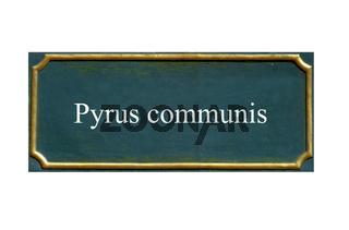 schild wildbirne, pyrus communis, einheimisches gewaechs