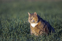 Domestic Cat, the oldest known cat dying at an age of 38