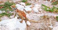 Agama in Namibia