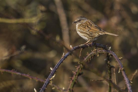 Dunnock, hedge sparrow (Prunella modularis)