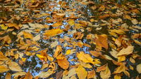 Autumn leaves on water surface