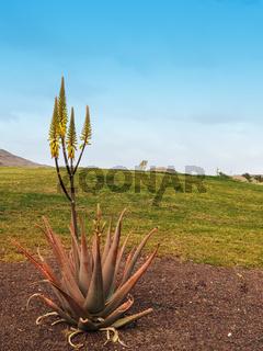 Aloe Vera Pflanze vor Rasen und blauem Himmel