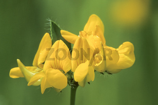 Sumpf-Hornklee der doldige Bluetenstand besteht aus 5 bis 12 Blueten - (Sumpfschotenklee) / Greater Birds-foot Trefoil is a member of the pea family - (Marsh Birds-foot Trefoil  -  Big Trefoil) / Lotus pedunculatus - (Lotus uliginosus)