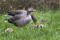 Gray geese with young animals, (Anser anser), Hamburg, Germany, Europe