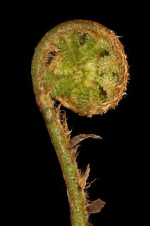 Straussenfarn (Matteuccia struthiopteris)