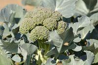 Broccoli on the field