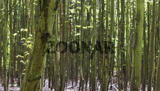 Dünne Baumstämme Hintergrund 2