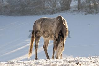 Anglo Araber im Schnee