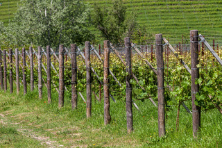 Green vineyards in a row.