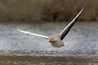 Gray goose, (Anser anser), flying, Hamburg, Germany, Europe