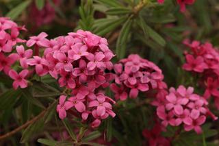 Rosmarin-Seidelbast (Daphne cneorum)