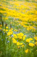 Dandilon meadow in South Tyrol