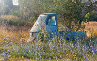 Old motorcycle in a field with chicory. Italy