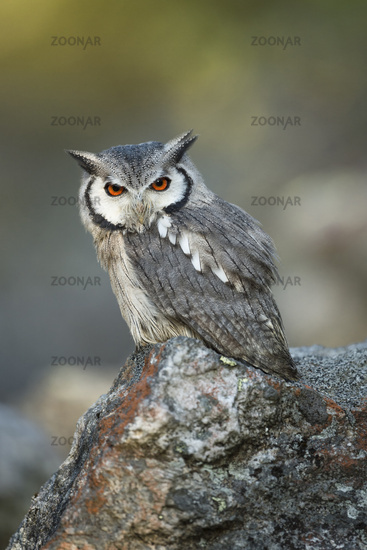 just cute... Southern White-faced Owl *Ptilopsis granti*
