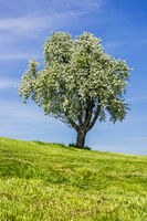 Blühender Apfelbaum (Malus domestica), am Bodensee, Baden-Württemberg, Deutschland, Europa