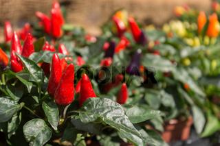 Chilipflanzen mit Früchten