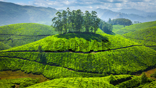 Green tea plantations in India