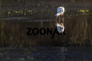 Weißstorch (Ciconia ciconia)