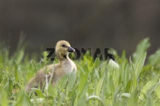 Junge Graugans (Anser anser), Küken, Schleswig Holstein, Deutschland, Europa