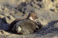 Mauswiesel grosse Beutetiere sterben in der Regel durch Kreislaufzusammenbruch oder Blutverlust - (Foto Mauswiesel erbeutet ein junges Kaninchen) / Least Weasel large prey typically dies of circulatory shock or blood loss - (Photo Least Weasel attacking a