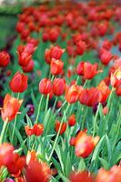 Spring beautiful flowers tulips