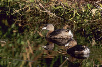 Pied-billed Grebe is a species of the grebe family