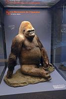 Präparat des Gorilla Bobby (Gorilla), Museum für Naturkunde, Nat