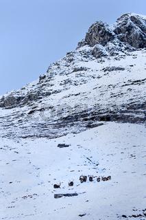 Alpensteinböcke im Schnee (Capra ibex), Nationalpark Hohe Tauern, Österreich, Europa