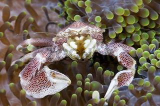 Porzellan-Krabbe, Indonesien