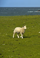 Lamb on a pasture, Great Britain