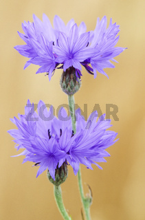 Kornblume die Samen sind sehr oelhaltig - (Zyane) / Cornflower is the national flower of Estonia - (Bachelors Button - Bluebottle) / Centaurea cyanus