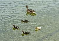 Female Mallard (Anas platyrhynchos) with fledglings swimming in a pond