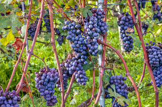 Bunches of ripe grapes.