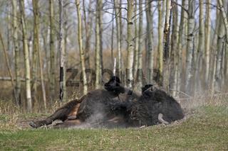 Amerikanischer Bisonbulle nimmt ein Sandbad - (Indianerbueffel - Praeriebison) / American Bison bull taking a sand bath - (American Buffalo - Plains Bison) / Bison bison - Bison bison (bison)