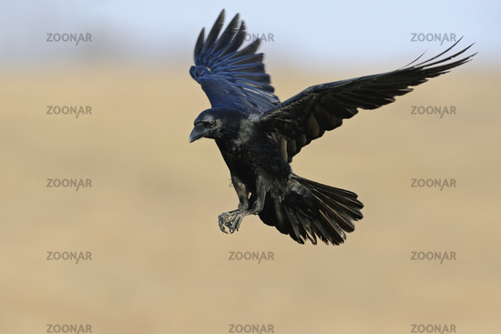 Flying in... Common Raven *Corvus corax*