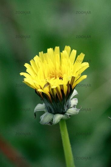 ajar dandelions