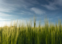 Green grass, crop, wheat against the sky
