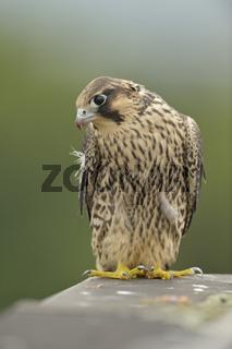 Zimmer mit Aussicht... Wanderfalke *Falco peregrinus*