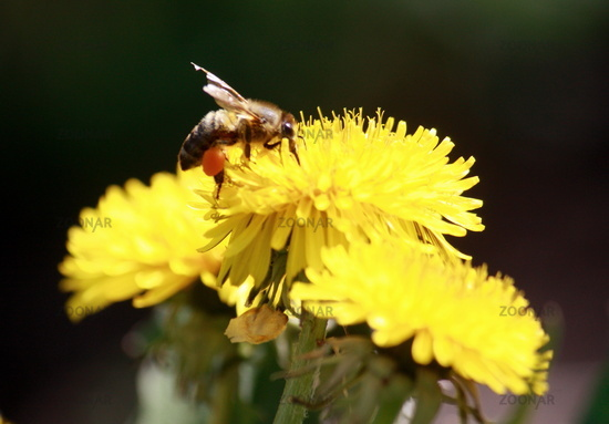 Bee with pollen dandelion flower